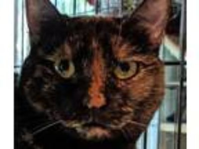 Adopt Trixie a Domestic Short Hair