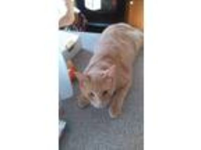 Adopt Goldie a Orange or Red Tabby Domestic Shorthair / Mixed cat in Rocky
