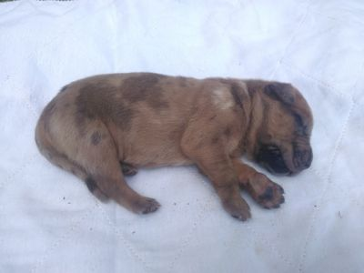 Great Dane PUPPY FOR SALE ADN-93321 - Fawn Merle great Dane puppy