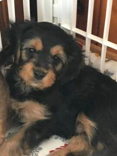 Cavalier King Charles Spaniel-Shorkie Tzu Mix PUPPY FOR SALE ADN-108747 - Cavalier Shorkie Mix Puppies