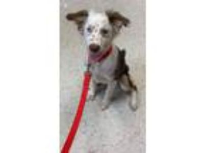 Adopt Kihyah a Red/Golden/Orange/Chestnut - with White Australian Shepherd /