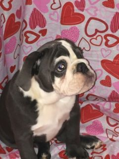 Bulldog PUPPY FOR SALE ADN-112474 - English bulldog