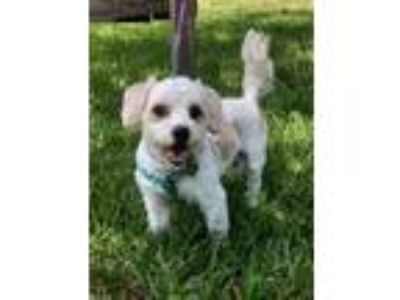 Adopt Liam a White - with Tan, Yellow or Fawn Toy Poodle / Mixed dog in Davie