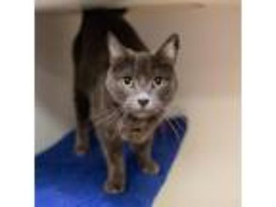 Adopt Pudders a Gray or Blue Domestic Shorthair / Domestic Shorthair / Mixed cat