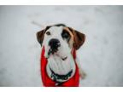 Adopt Max a Tricolor (Tan/Brown & Black & White) Great Dane / Hound (Unknown