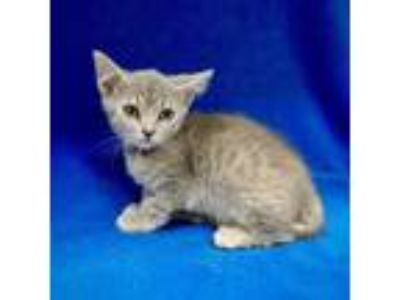 Adopt Jeannie B a Gray or Blue Domestic Shorthair cat in Culver City