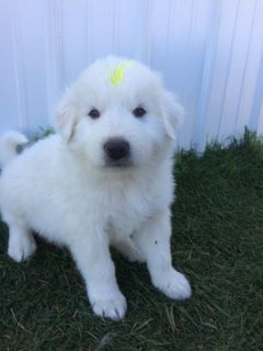 Great Pyrenees-Anatolian Shepherd Mix PUPPY FOR SALE ADN-92131 - Male CMD puppies