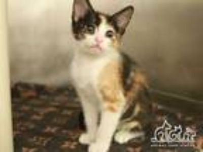 Adopt DOLORES a Calico or Dilute Calico Domestic Shorthair / Mixed (short coat)