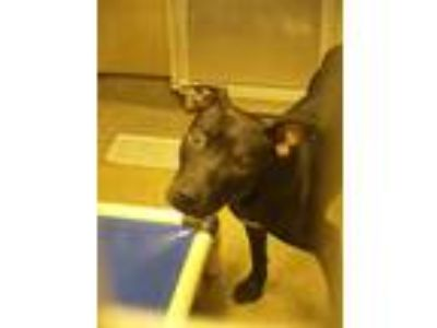 Adopt Alfred Southern (Rescue Only) a Pit Bull Terrier / Mixed dog in Rome