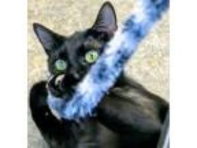 Adopt Sprinkles a Domestic Shorthair / Mixed (short coat) cat in Clinton
