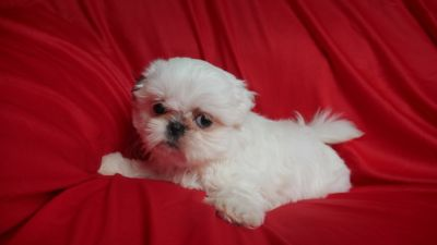 Shih Tzu PUPPY FOR SALE ADN-78027 - Tam