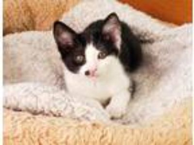 Adopt Coco Chanel a Domestic Short Hair
