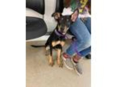 Adopt 42164326 a Black Doberman Pinscher / Mixed dog in Fort Worth