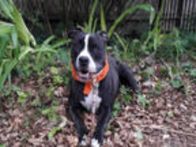 Adopt BONNIE a Brindle - with White Boxer / Mixed dog in Houston, TX (23212494)