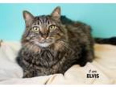 Adopt Elvis a Domestic Longhair / Mixed (short coat) cat in Boone, IA (25313398)