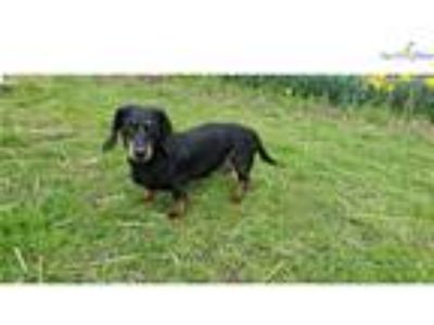 Mattie is a smooth black and tan senior doxie