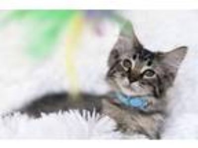 Adopt Payton a Gray, Blue or Silver Tabby Domestic Longhair (long coat) cat in