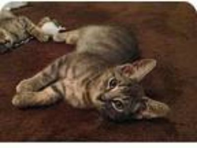 Adopt Chance a Gray, Blue or Silver Tabby Domestic Shorthair (short coat) cat in