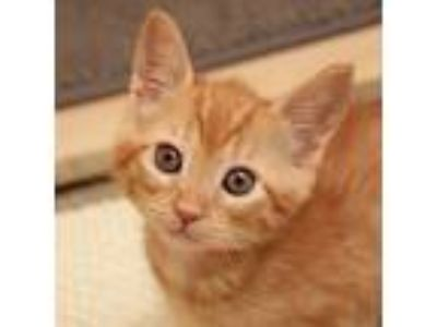 Adopt Magee a Orange or Red Domestic Shorthair / Domestic Shorthair / Mixed cat