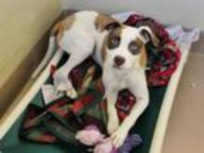 Adopt JUJUBE a Pit Bull Terrier, Mixed Breed