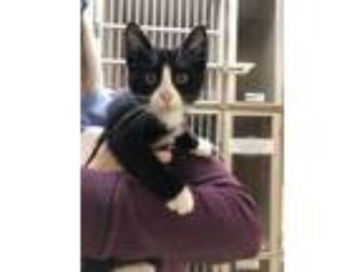 Adopt Toffee a All Black Domestic Shorthair / Domestic Shorthair / Mixed cat in