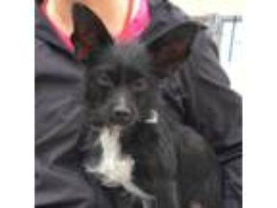 Adopt Ivan a Black Terrier (Unknown Type, Small) / Mixed dog in San Francisco