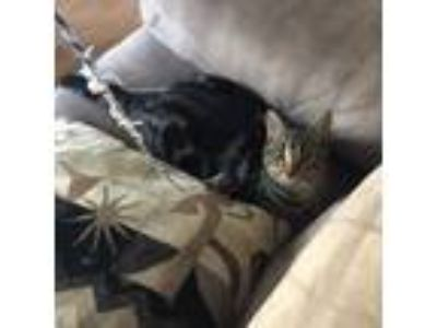 Adopt Anna a Brown Tabby British Shorthair / Mixed cat in Sterling Heights
