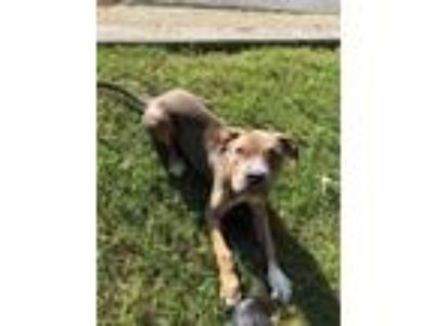 Adopt River a Brown/Chocolate - with White American Pit Bull Terrier / Mixed dog
