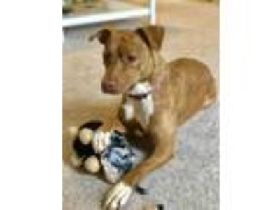 Adopt Genesis a Staffordshire Bull Terrier / Mixed dog in Charlottesville