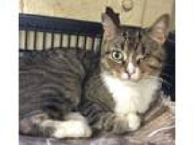 Adopt Michelle a Brown Tabby Domestic Shorthair (short coat) cat in Bedford