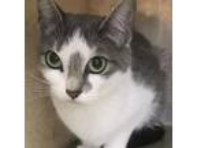Adopt Tina a Gray or Blue Domestic Shorthair / Domestic Shorthair / Mixed cat in