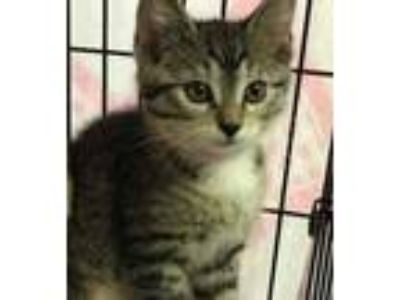 Adopt Eclaire a Tan or Fawn Domestic Shorthair / Domestic Shorthair / Mixed cat