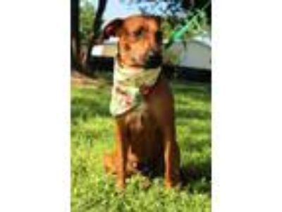 Adopt Sangria JuM a Red/Golden/Orange/Chestnut Black Mouth Cur / Beagle / Mixed