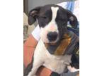 Adopt KimmiLee a Border Collie