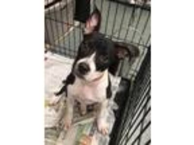 Adopt CJ a Black American Staffordshire Terrier / Boston Terrier / Mixed dog in
