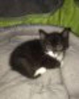Shooter Domestic Short Hair Cat