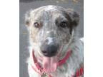 Adopt Poe a Australian Cattle Dog / Blue Heeler, Border Collie