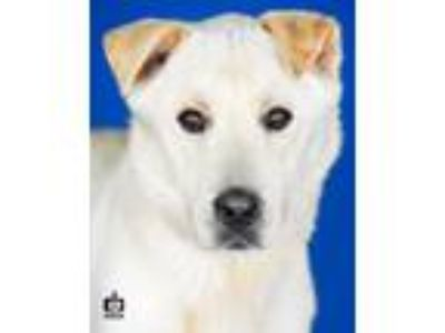 Adopt Cheddar a Tan/Yellow/Fawn Labrador Retriever / Mixed dog in Port Allen
