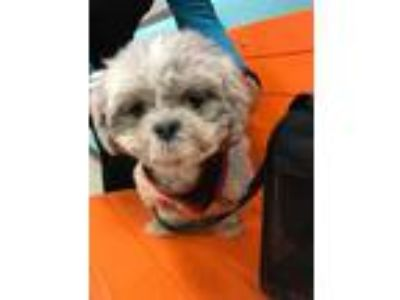 Adopt Digit a Shih Tzu / Mixed dog in Ridgefield, CT (25921389)