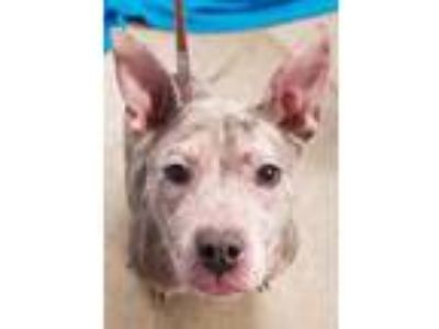Adopt Roxy a Pit Bull Terrier, Mixed Breed