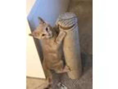 Adopt BuffyBoy a Tan or Fawn Domestic Shorthair / Domestic Shorthair / Mixed cat