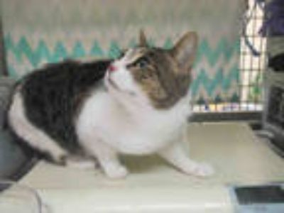 Adopt KATANA a Brown Tabby Domestic Shorthair / Mixed (short coat) cat in