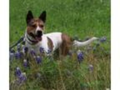 Adopt Addison a White - with Brown or Chocolate Cattle Dog / Mixed dog in