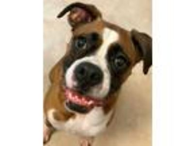 Adopt Izzy a Tan/Yellow/Fawn Boxer / Mixed dog in Hurst, TX (25710144)