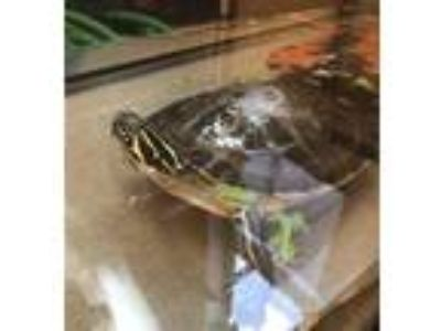 Adopt Frank a Turtle - Water reptile, amphibian, and/or fish in Monterey