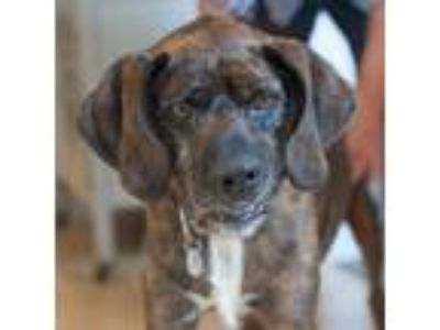 Adopt Pierce a Brindle - with White Labrador Retriever / Wheaten Terrier / Mixed