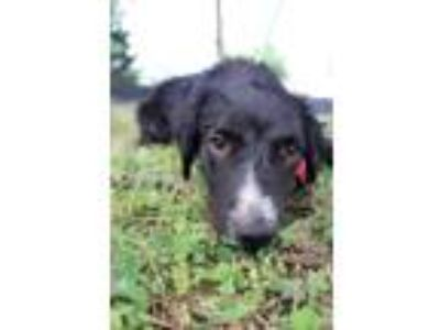 Adopt Hedron JuM a Black - with White Border Collie / Shepherd (Unknown Type) /