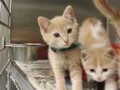Adopt KEVIN a Tan or Fawn Tabby Domestic Shorthair / Mixed (short coat) cat in