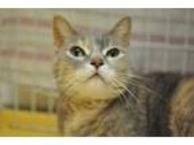 Adopt Shiloh a Gray or Blue Domestic Shorthair / Domestic Shorthair / Mixed cat
