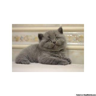 M/F Scottish Fold Kittens For Sale